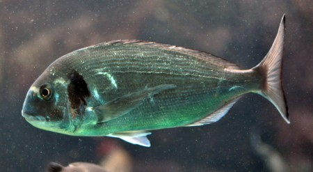 Black Sea Bream 450x247 Enjoy The Radioactive Fish: Tests Show Fukushima Fish Are Up To 124X Above Safe Level
