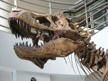 Tyrannosaurus rex skull - Photo by EncycloPetey